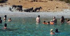 Bodrum Körfezi'nde domuzlar sahile indi!